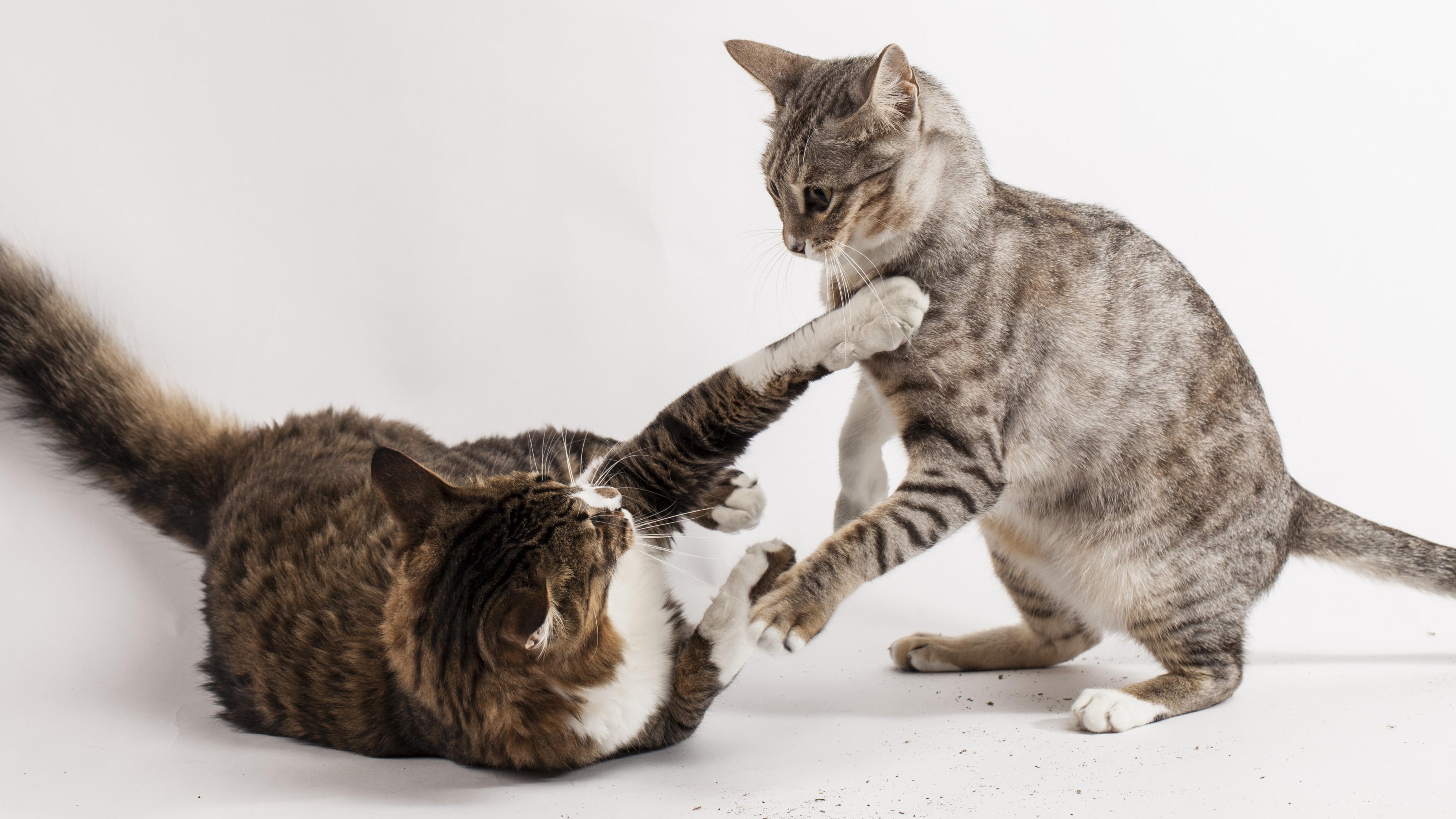Spannungen und Konflikte im Mehrkatzenhaushalt
