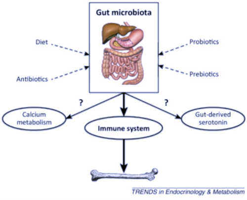 Gut microbiota  and osteoporosis and bone health